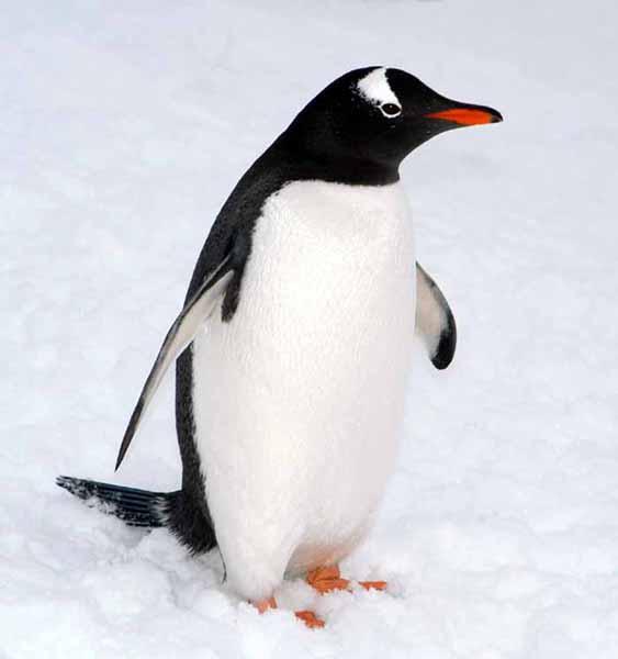 penguin-updates